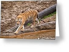 Stalking Tiger - Bengal Greeting Card