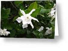 Star Gardina Greeting Card