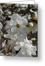 Star Magnolia Blooms Greeting Card