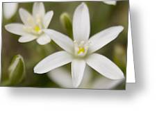 Star Of Bethlehem Greeting Card by Margaret Denny