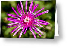 Starburst Of The Wildflowers Greeting Card
