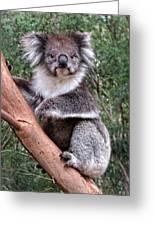 Staring Koala Greeting Card