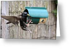 Starling On Bird Feeder Greeting Card