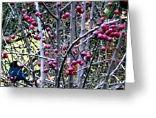 Stellar Jay In Crab Apples Greeting Card by Will Borden