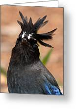 Stellar's Jay With Rock Star Hair Greeting Card