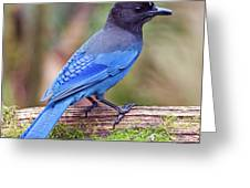 Steller's Jay IIi Greeting Card