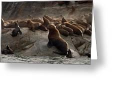 Stellers Sea Lions Eumetopias Jubatus Greeting Card