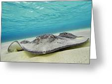 Stingrays Under Water Greeting Card