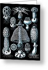 Stinkhorn Mushrooms Vintage Illustration Greeting Card