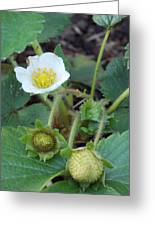 Strawberry Bloom And Baby Berries Greeting Card