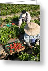 Strawberry Harvest Greeting Card