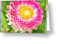 Strawflower Greeting Card
