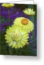 Strawflower Perfection  Greeting Card