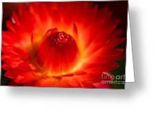 Strawflower Sombrero Greeting Card