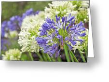 Striking Blue And White Agapanthus Flowers Greeting Card