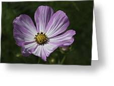 Striped Cosmos 1 Greeting Card by Roger Snyder