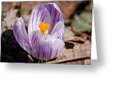 Striped Crocus Greeting Card