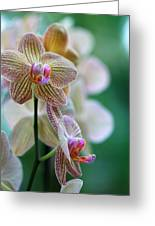 Striped Orchid 1 Greeting Card