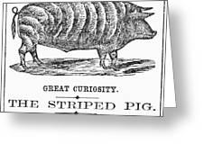 Striped Pig Curiosity Greeting Card
