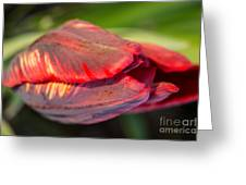 Striped Red Tulip Greeting Card