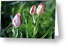 Striped Tulips In Spring Greeting Card