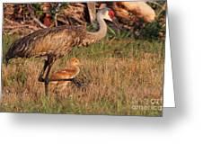 Strolling Sandhill Crane Family Greeting Card