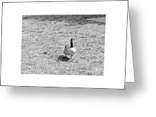 Strutting His Stuff Black And White Greeting Card