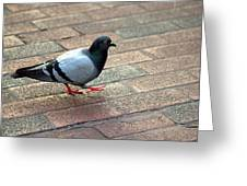 Strutting Pigeon Greeting Card