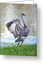 Strutting Sandhill Crane Greeting Card by Carol Groenen