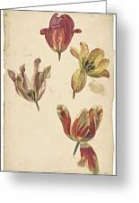 Studies Of Four Tulips, Elias Van Nijmegen, C. 1700 - C. 1725 Greeting Card