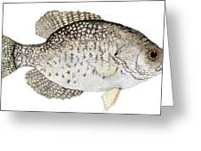 Study Of A Black Crappie Greeting Card