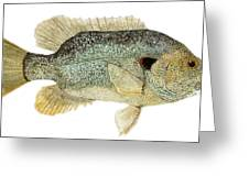 Study Of A Green Sunfish Greeting Card