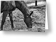 Study Of A Horse Greeting Card