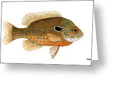 Study Of A Longear Sunfish Greeting Card