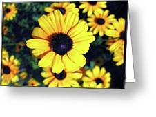 Stunning Black Eyed Susan  Greeting Card