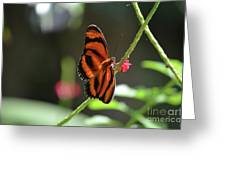 Stunning Little Orange Oak Tiger Butterfly In Nature Greeting Card