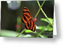 Stunning Oak Tiger Butterfly Resting On Flowers Greeting Card