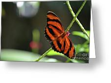 Stunning Orange And Black Oak Tiger Butterfly In Nature Greeting Card