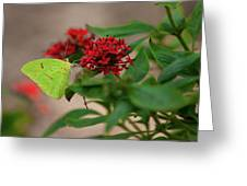 Sulphur Butterfly On Red Flower Greeting Card