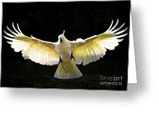 Sulphur Crested Cockatoo In Flight Greeting Card