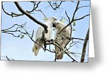 Sulphur Crested Cockatoos Greeting Card