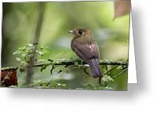 Sulphur-rumped Flycatcher Greeting Card