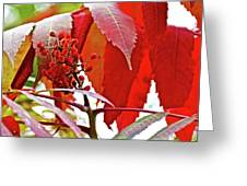 Sumac Closeup On White Pine Trail In Kent County, Michigan Greeting Card