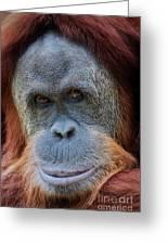 Sumatra Orangutan Portrait Greeting Card