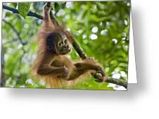 Sumatran Orangutan Pongo Abelii Baby Greeting Card by Suzi Eszterhas