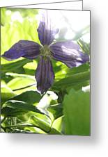Summer Clematis In Light Shade Greeting Card