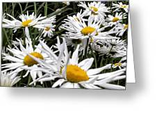 Daisies Galore Greeting Card