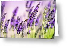 Summer Lavender  Greeting Card by Nailia Schwarz