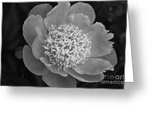 Summer Peony Greeting Card