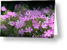 Summer Phlox Greeting Card